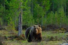 Szene der wild lebenden Tiere von Finnland-Natur Großer Braunbär, der morgens um Sonne des Sees geht Schönes Licht im Wald mit da Lizenzfreie Stockbilder