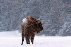 Szene der Winter-wild lebenden Tiere: Bewegungslose große wilde Schneefälle Browns Bison Wisent During A Großes europäisches Holz lizenzfreie stockfotografie