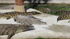 Szene mit dem großen Krokodillaut summen stock footage