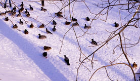 Szene mit Enten im Winter Stockfotos