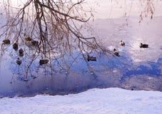 Szene mit Enten im Winter Stockbilder