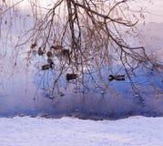 Szene mit Enten im Winter Lizenzfreies Stockfoto