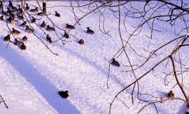 Szene mit Enten im Winter Stockbild