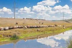 Szene mit Herde von Schafen nähern sich Fluss Stockfotografie