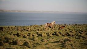 Szenische Ansicht der schönen Natur Die Herde von den wilden isländischen Pferden, die in Galopp durch das Feld laufen stock footage