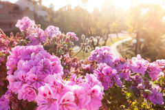 Szenische Ansicht der Weinlese mit rosa Blumen bei Sonnenuntergang füllte mit Stockbild
