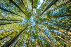 Szenische Ansicht des sehr großen und hohen Baums im Wald morgens, oben schauend Stockfoto
