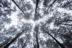 Szenische Ansicht des sehr großen und hohen Baums im Wald im morni Stockbilder