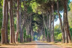 Szenische Kiefernstraße im Naturpark von Migliarino San Rossore Massaciuccoli stockfotografie