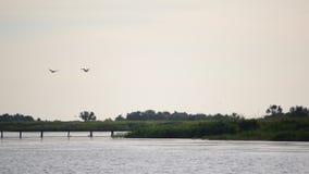 Szenische Landschaft mit dem Fliegen mit zwei Pelikanen Überwasser stock video footage