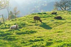 Szenische Landschaft mit Schafen und Ziegen, Gruyeres, die Schweiz lizenzfreie stockbilder