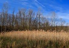 Szenische Landschaft von allgemeinen Schilfen in einem Sumpfgebiet mit einem Wald im Hintergrund stockfotos