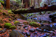 Szenische Wanderung entlang kalifornischem Rotholznebenfluß mit gefallenem Rotholzbaum Stockfotos