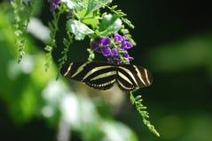 Szenischer Blick auf einen Zebra-Schmetterling auf einer Blume Lizenzfreies Stockbild