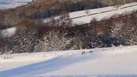 Szenischer Winterhügel mit den Schafen, die auf Schnee durchstreifen stock video footage