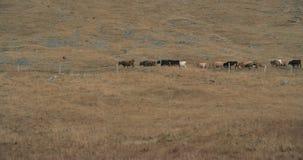 Szenisches Island, Kühe, die auf einen grasartigen Hügel gehen stock video
