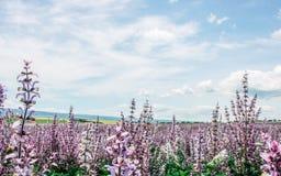 Szenisches Sommerfeld des rosa Salbeis und des blauen bewölkten Himmels stockfotos