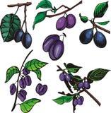 szereg ilustracyjne owocowe ilustracji