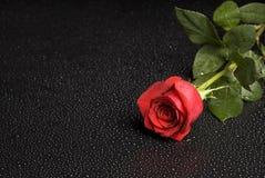 szereg różane mokre Fotografia Royalty Free