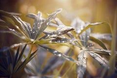 Szerocy lupine liście posypujący z rosa kroplami zdjęcia royalty free