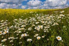 Szerocy pola stokrotki i kwiatonośna musztarda w Rosja obrazy royalty free