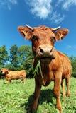 Szeroka kąt krowa Zdjęcia Royalty Free