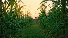 Szeroka nawa między zielonymi cornstalks, pole uprawne przy zmierzchem, podmiotowa kamera, chuje między kukurydzanymi badylami, p zdjęcie wideo