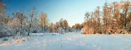 Szeroka panorama zima las Obraz Royalty Free