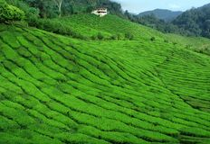 szeroka plantaci herbata Obrazy Stock