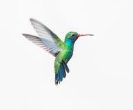 Szeroka Wystawiająca rachunek Hummingbird samiec Zdjęcia Royalty Free
