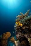 szeroki anemonefish anemonowy ocean obrazy royalty free