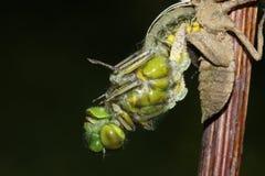 Szeroki bodied łowcy Dragonfly Libellula depressa wyłania się z tyłu boginki obraz stock