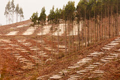 Szeroki clearcut Eukaliptusowy las dla szalunku żniwa Zdjęcie Stock