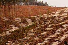 Szeroki clearcut Eukaliptusowy las dla szalunku żniwa Zdjęcia Stock