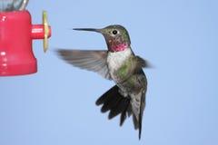 szeroki hummingbird platycercus selasphorus ogoniasty Obraz Royalty Free