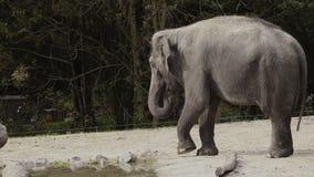 Szeroki kąt strzelał zwierzęcy słoń w niewoli odprowadzeniu na piasku zbiory