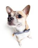 Szeroki kąt strzelający chihuahua doggy Fotografia Royalty Free