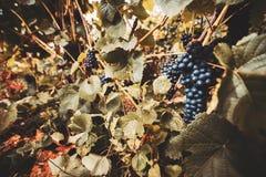 Szeroki kąt strzelający wiązki winogrona Zdjęcia Stock