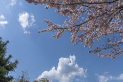 Szeroki kąta tło z gałąź różowy czereśniowy okwitnięcie Obrazy Stock