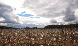 Szeroki kąta widok bawełniany pole w spadku przed burzą zdjęcie royalty free