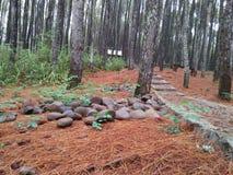 Szeroki krajobraz w sosnowym lesie zdjęcie stock