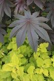 Szeroki liścia ulistnienie Fotografia Stock