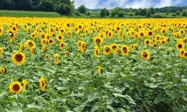 Szeroki pole kultywujący z słonecznikami Zdjęcie Stock