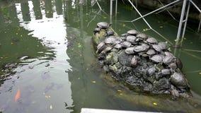 Szeroki strzał żółw, terapin, ryba, koi harmonii żywy togethe zbiory