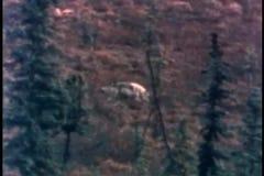 Szeroki strzał wilk w dzikim zbiory