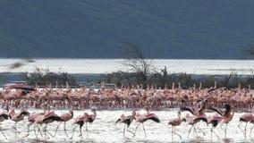 Szeroki widok flamingi pojawiać się maszerować przy jeziornym bogoria zbiory wideo