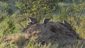 Szeroki widok skrzyknąca mangusta w masai Mara zdjęcie wideo