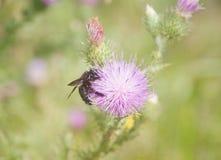 Szerszeń ssa nektar Zdjęcia Stock