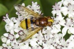 Szerszenia mimik hoverfly na białym kwiacie, Volucella zonaria/ Fotografia Stock