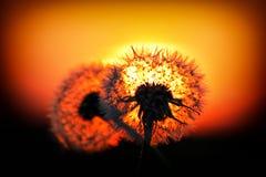 Szkła kłama na drewnianych dandelions Zdjęcie Royalty Free